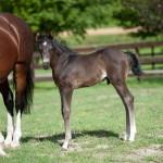 Dressage foal for sale colt